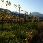 Terlan Vineyards